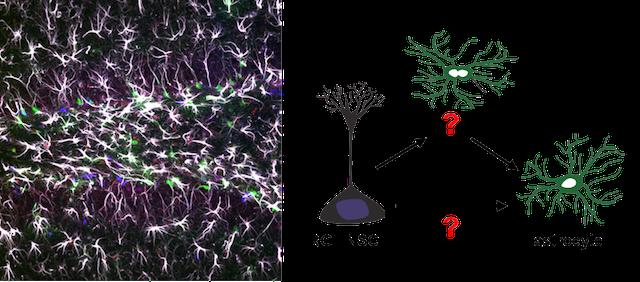 Adult astrogliogenesis