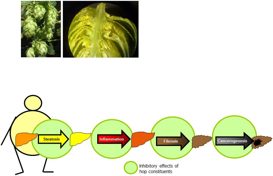 Hepatoprotective effects of hop ingredients